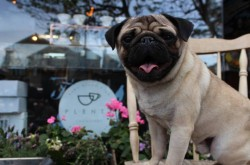 Pop Up Pug Cafe Brighton