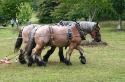 Heavy Horses working on the Wild Flower Meadow